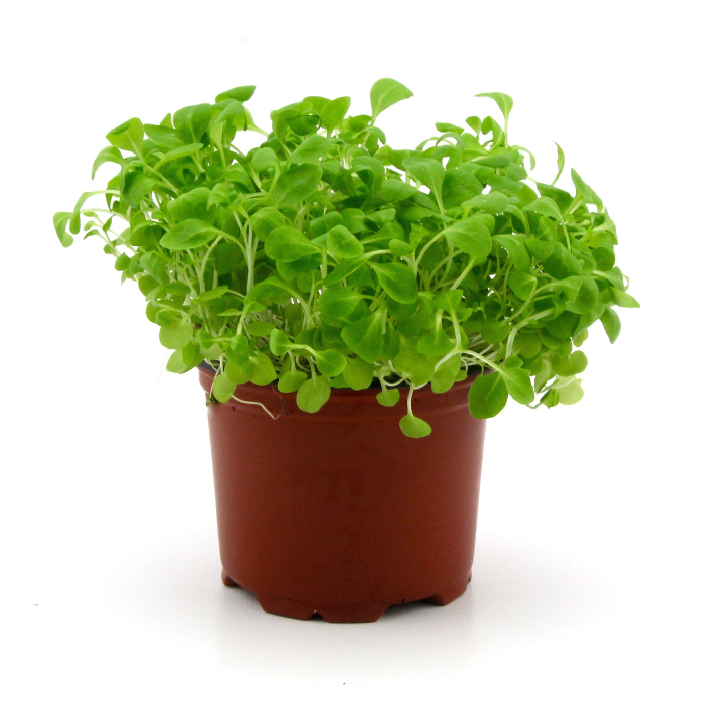 Micro Herbs Marche (Punnet)