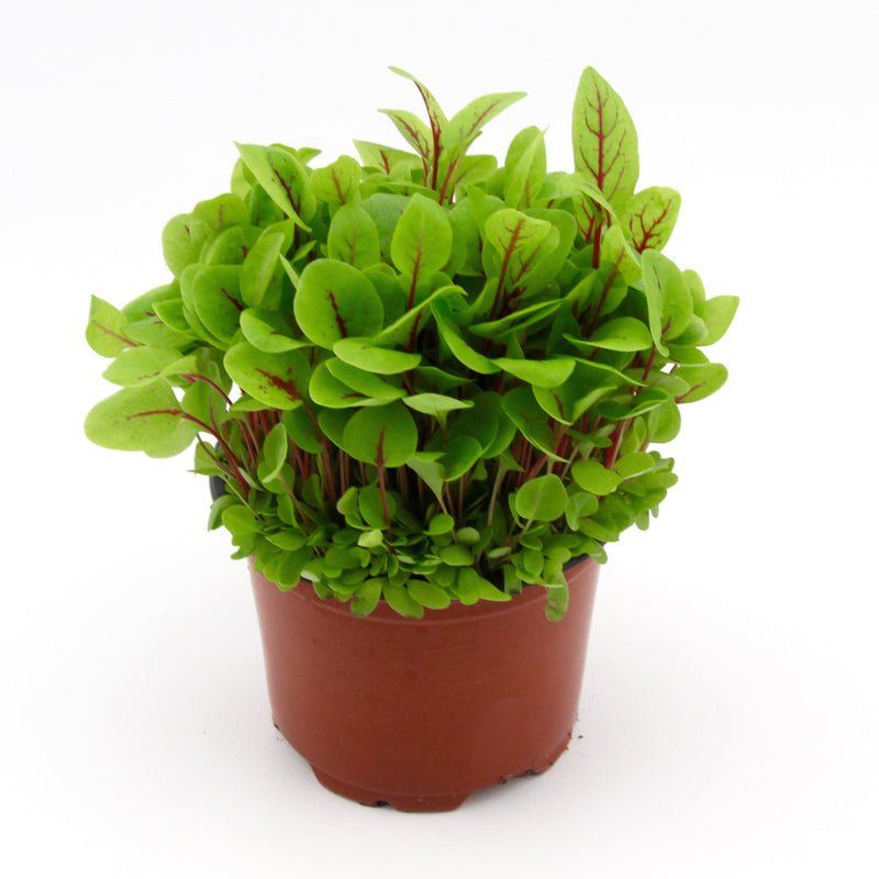 Micro Herbs Red Vein Sorrel (Punnet)