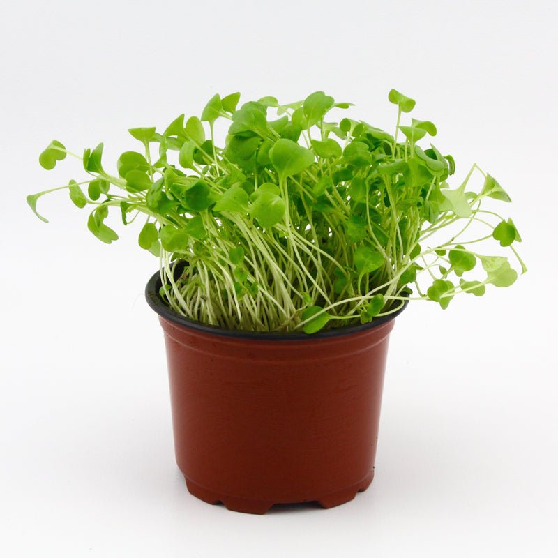Micro Herbs Roquette (Punnet)