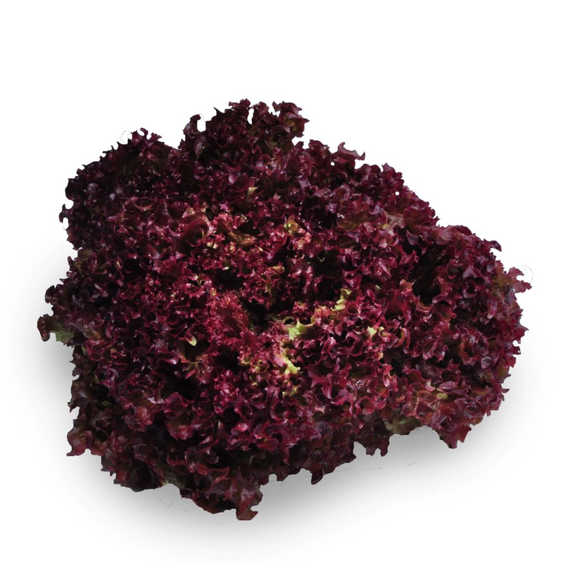 Coral Lettuce Red