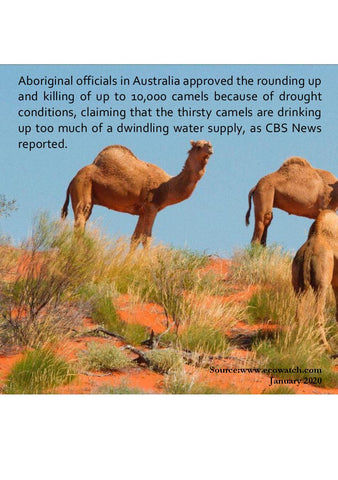 camels being shot in australia