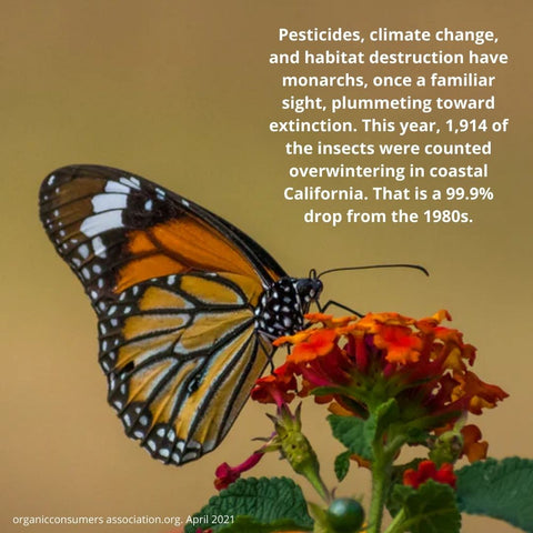 monarch butterfly is going extinct