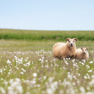 Wild horned lambs in meadow flowers and grass