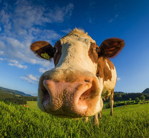 cow in meadow with blue sky