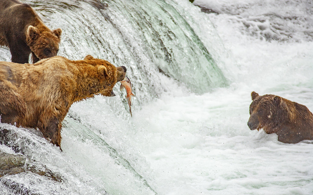 what is a carnivore: three bears catching fish in the river