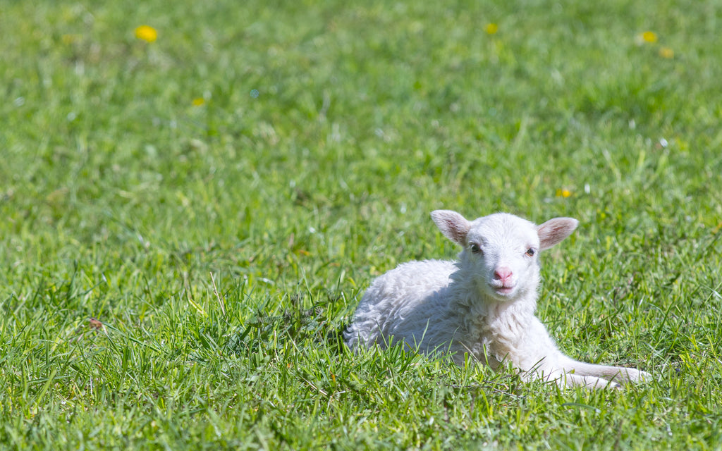 Grass fed meat: Lamb sitting in the grass