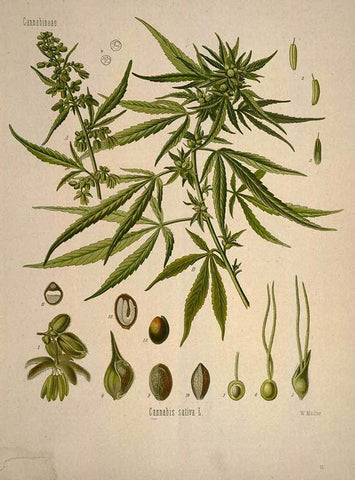 hemp plant diagram