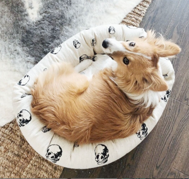 Corgi dog, skull dog bed