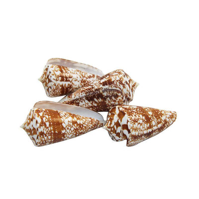 Sea Shell - Conus Spurius, Big 6.5cm, 4pcs
