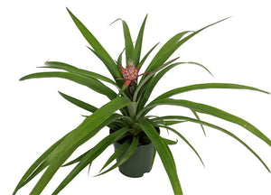 "Fruiting Pineapple Plant - Ananas comosus - Great Indoors/Out - 5"" Pot"