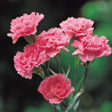 8 Carnation Flowers