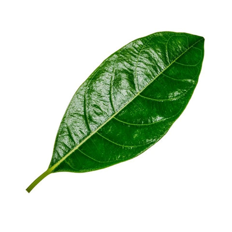 Jackfruit Leaves
