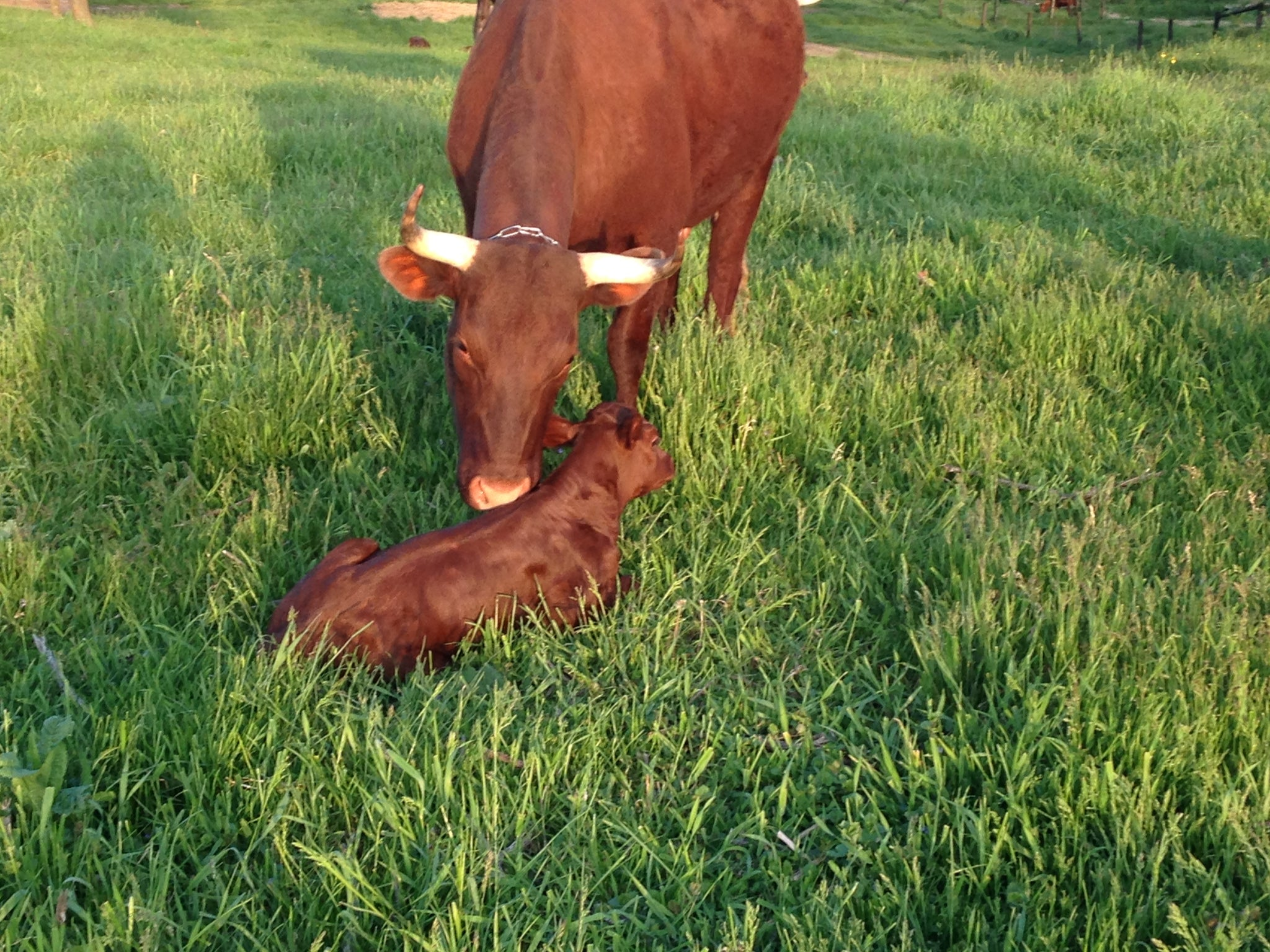American Milking Dwvon cow, Red Poppy, with calf