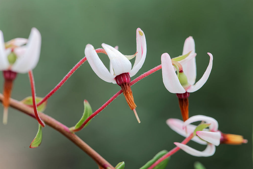 Cranberry flowers resemble the head and beak of a crane.