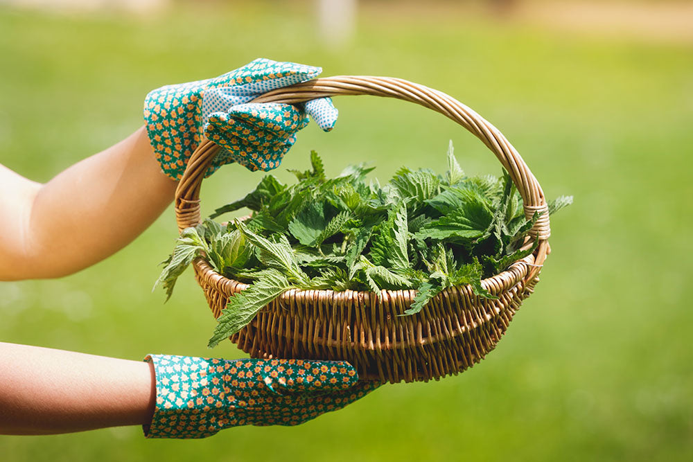 Nettle picking with protective gloves