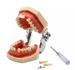 Frasaco - Removable Teeth Model For Practise - Tooth Preparation / Fillings / Veneers - FREE GLOBAL DELIVERY