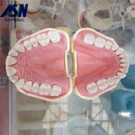 Soft Gum Model With Removable Teeth For Practise