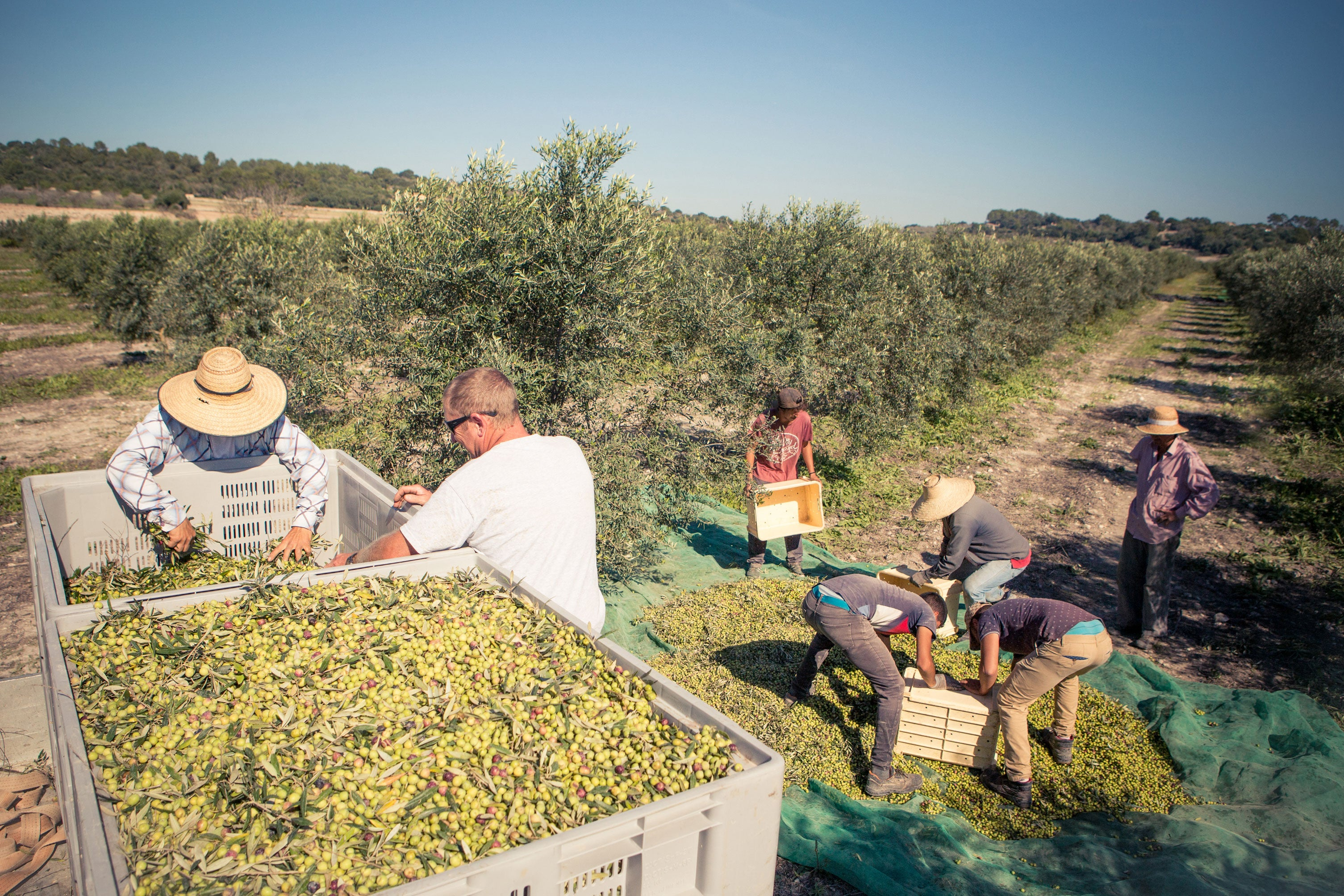 Organic, biodynamic, olives being collected for Extra Virgin Olive Oil pressing.