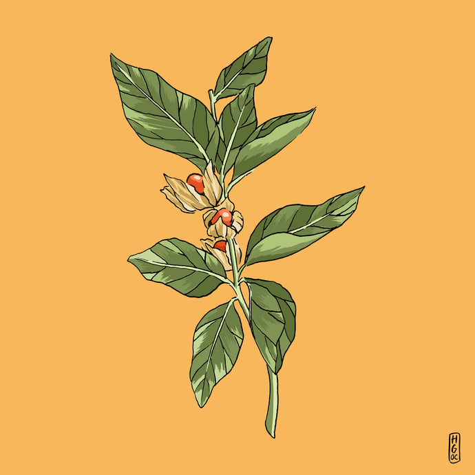 Ashwagandha: The perfect antidote to stressful modern life