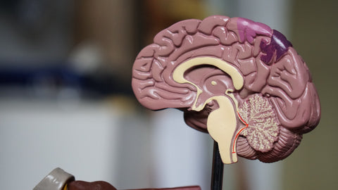 Dissected human brain model