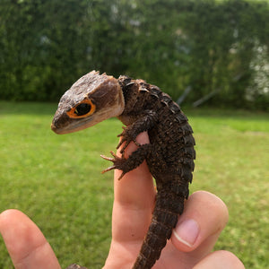 Red eye crocodile skink