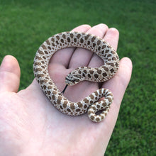 Load image into Gallery viewer, Normal western hognose