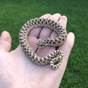 Normal western hognose