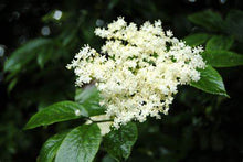 Load image into Gallery viewer, Elder Flower