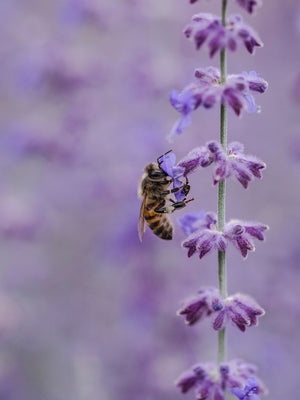 Save the Bees with Lavender!