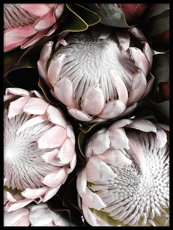 Bright Proteas Wall Art Print - PRRRINT