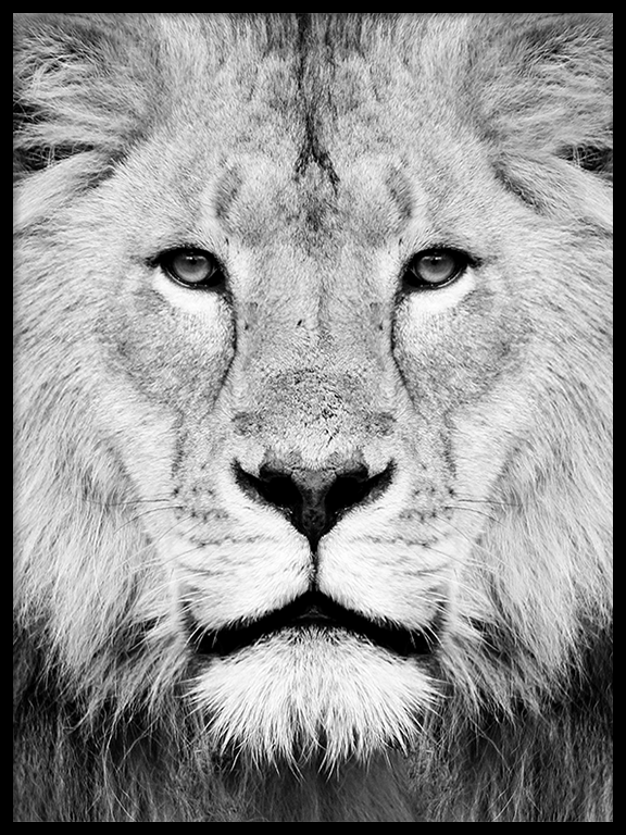 Lion Photography Poster - PRRRINT