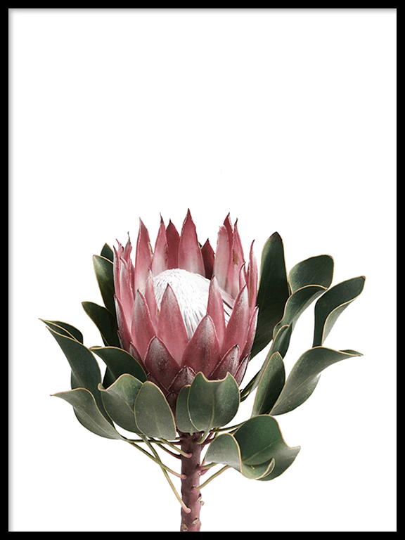 Protea Flower No2 Wall Art Print - PRRRINT