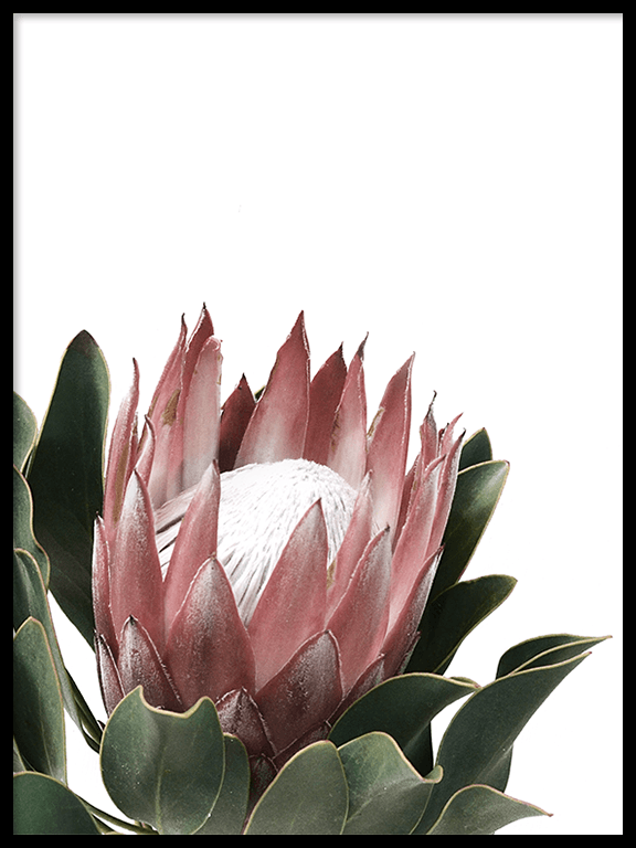 Protea Flower Wall Art Print - PRRRINT