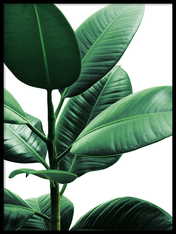 Rubber Plant No2 Wall Art Print - PRRRINT