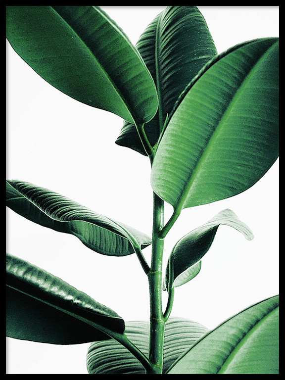 Rubber Plant No3 Wall Art Print - PRRRINT
