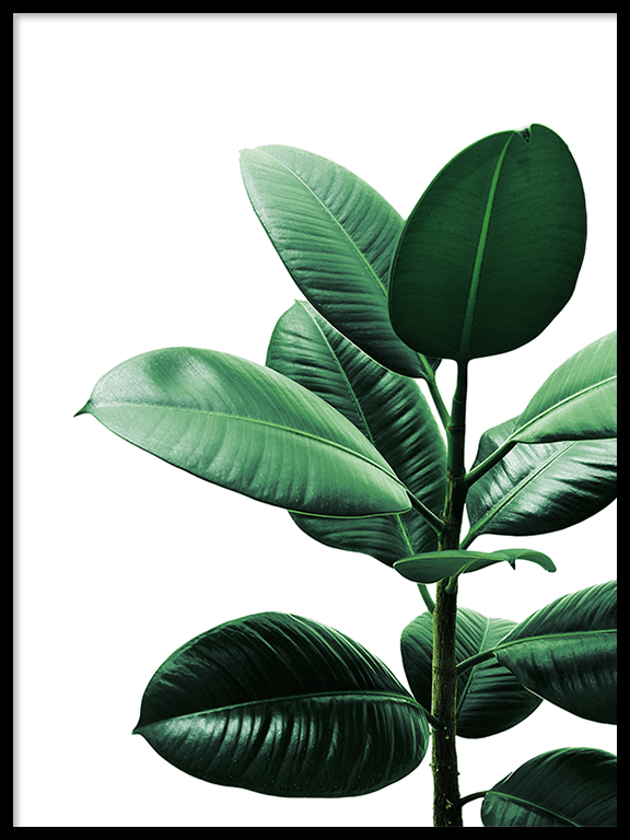 Rubber Plant Wall Art Print - PRRRINT