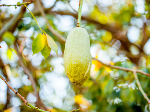 The Benefits of the Baobab Superfruit