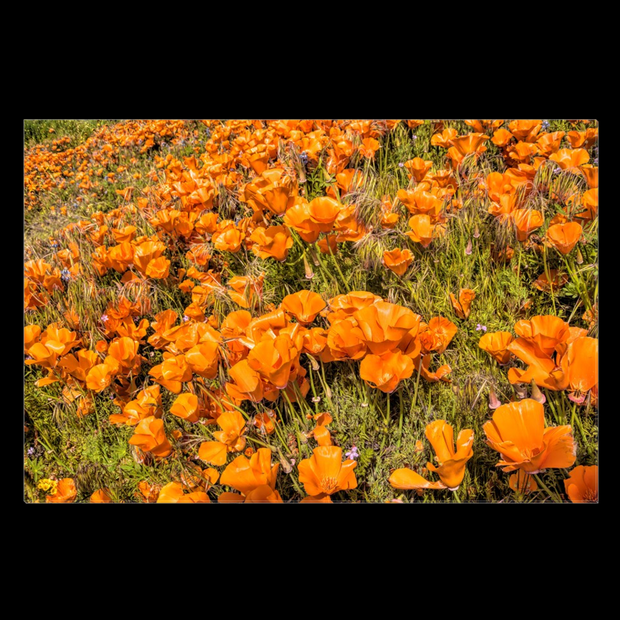 "Canvas Print ""Poppy Field"""