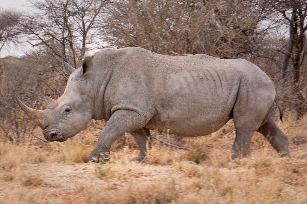 Meet the White Rhino...
