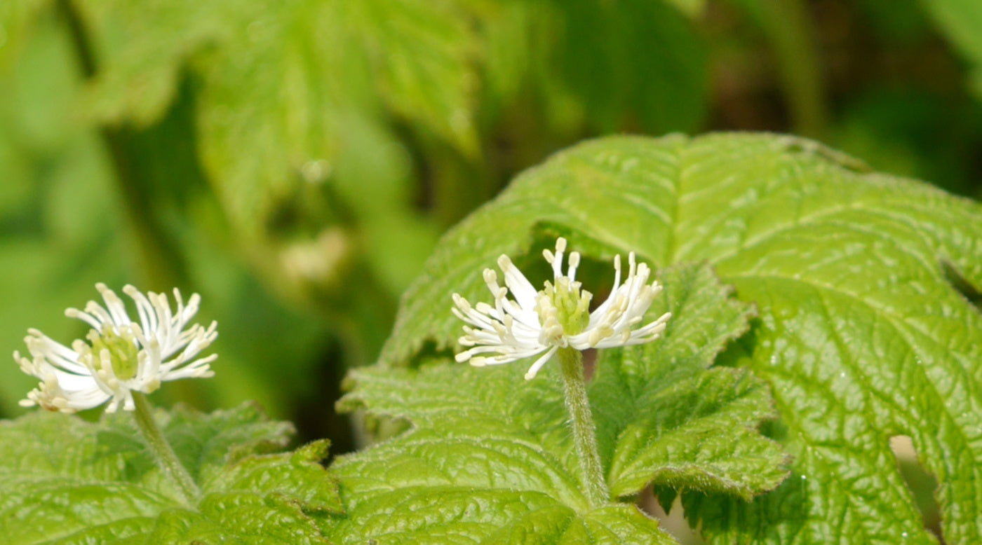 goldenseal plant for immunity