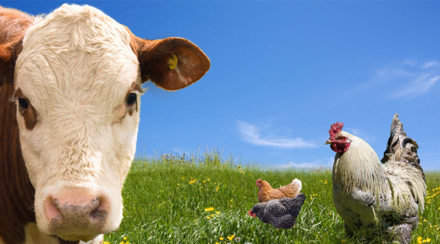 pasture-raised cows and chickens