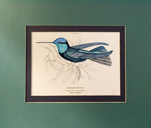 Vintage Humming-Bird Prints