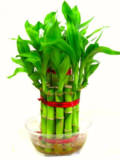 Two Layer Bamboo Plant - BrahmatellsStore