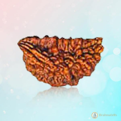 Rudraksh 1 Mukhi(Indonesia) Redisg-brown BT01R102SM