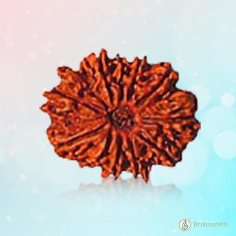 Rudraksh 10 Mukhi reddish-brown BT10R126SM