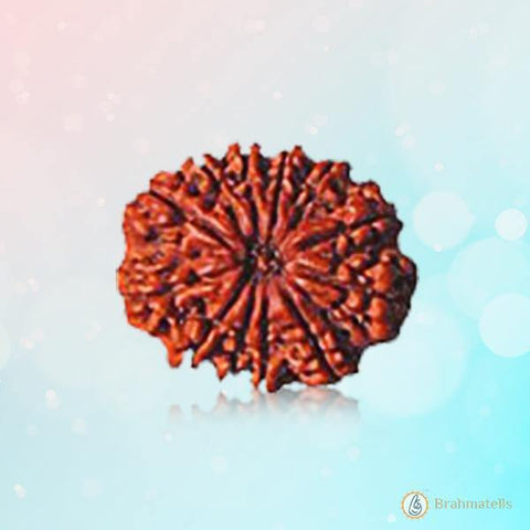 Rudraksh 12 Mukhi reddish-brown BT12R132SM