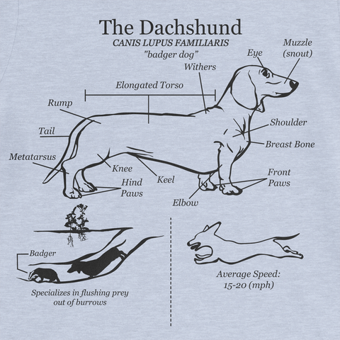 Dachshund Anatomy Blueprint Ladies Tee
