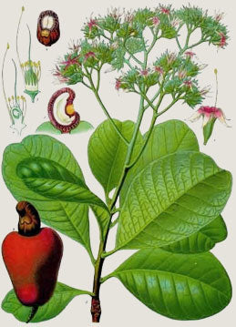 A botanical sketch of the cashew plant illustrating how cashew nuts grow. Image from Aboutnuts.
