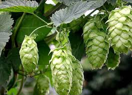 New evidence suggest hops could reduce breast cancer risk. - Granny's Natural Deodorant