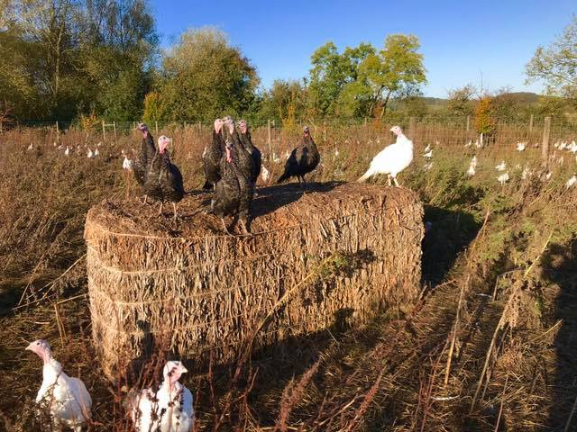 Newbold Turkeys Free Range Christmas Turkeys Hand-reared Family Farm in Northamptonshire. Collection or Courier Delivery.